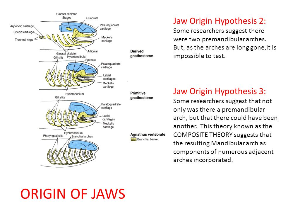 ORIGIN OF JAWS Jaw Origin Hypothesis 2: Jaw Origin Hypothesis 3: