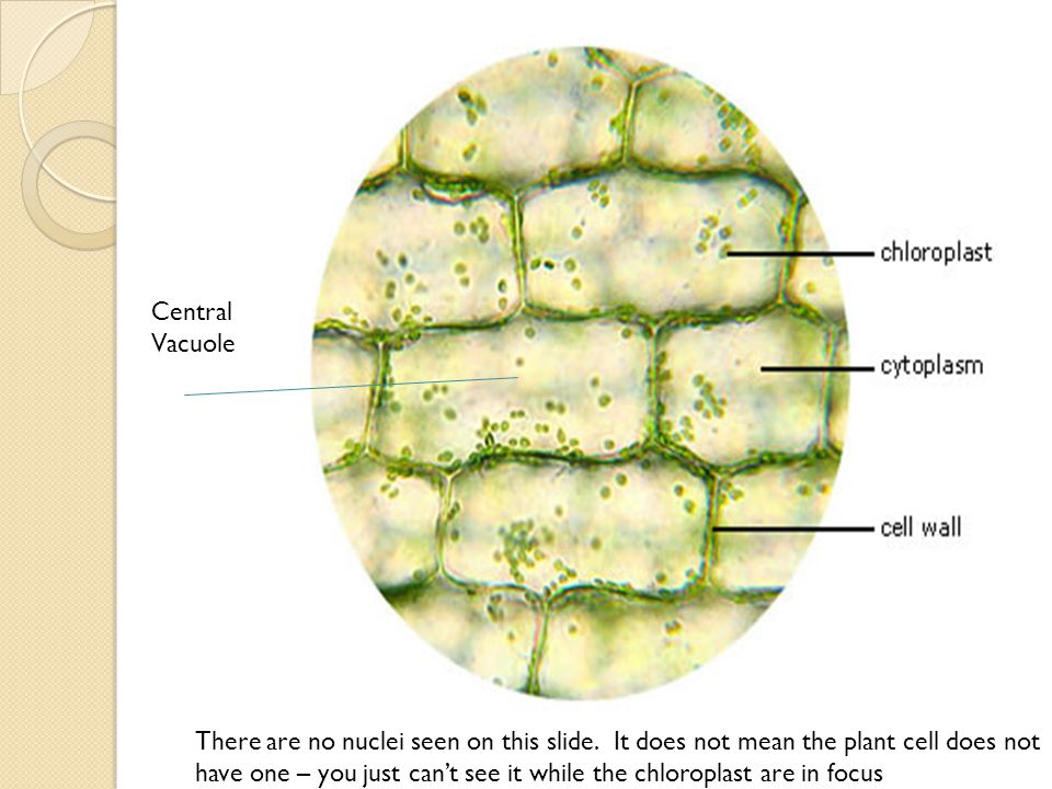 Central Vacuole.