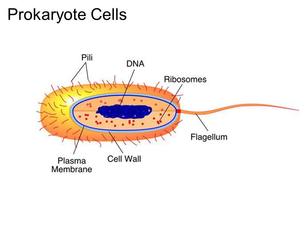 Prokaryote Cells