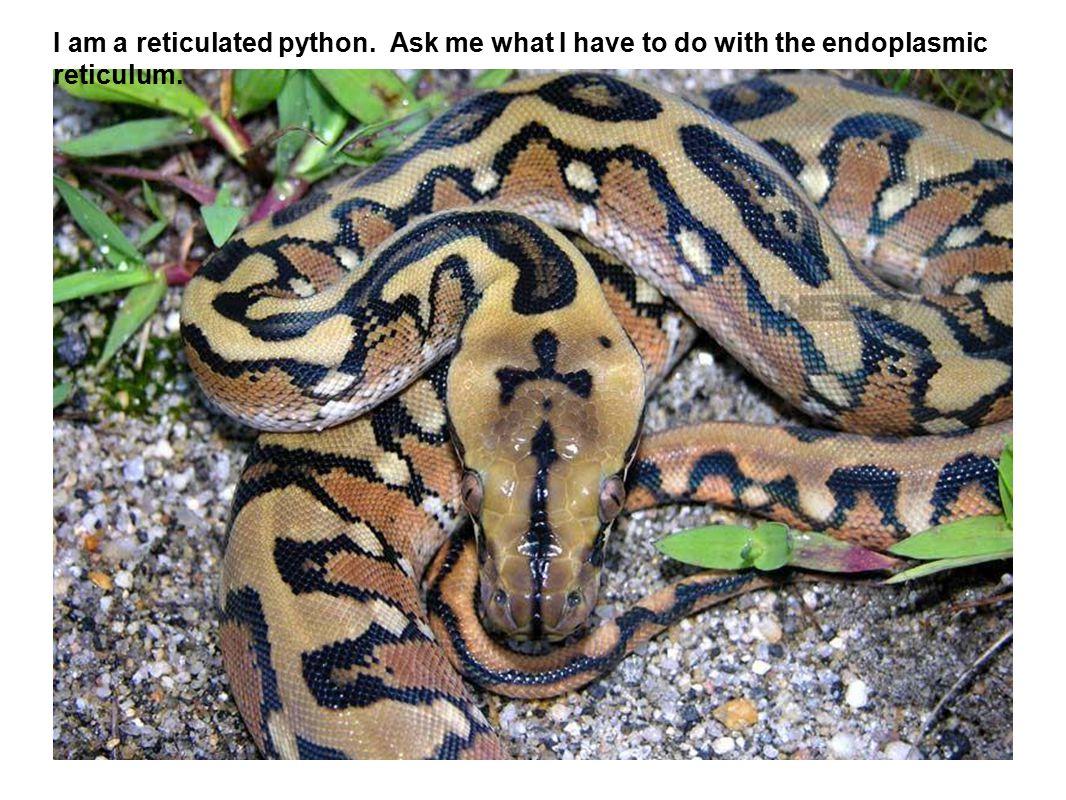 I am a reticulated python