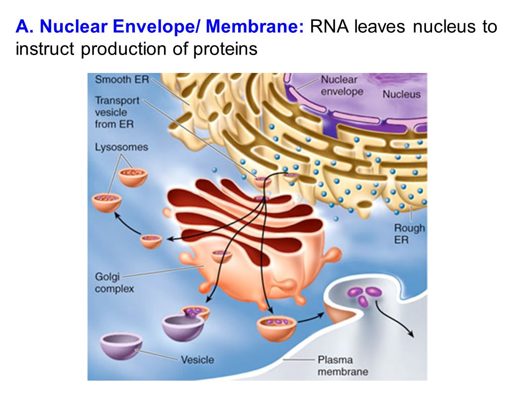 A. Nuclear Envelope/ Membrane: RNA leaves nucleus to instruct production of proteins
