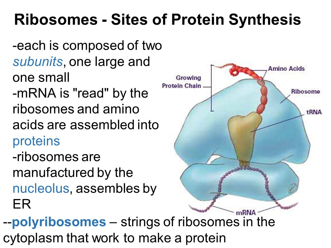 Ribosomes - Sites of Protein Synthesis