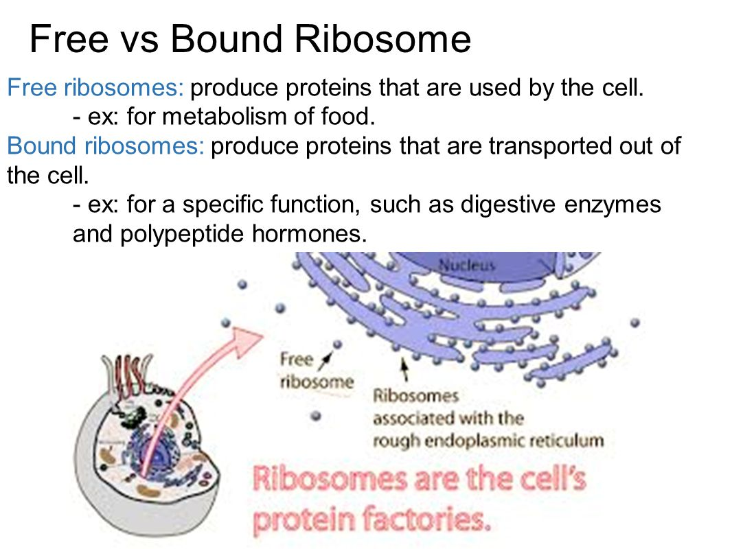 Free vs Bound Ribosome Free ribosomes: produce proteins that are used by the cell. - ex: for metabolism of food.