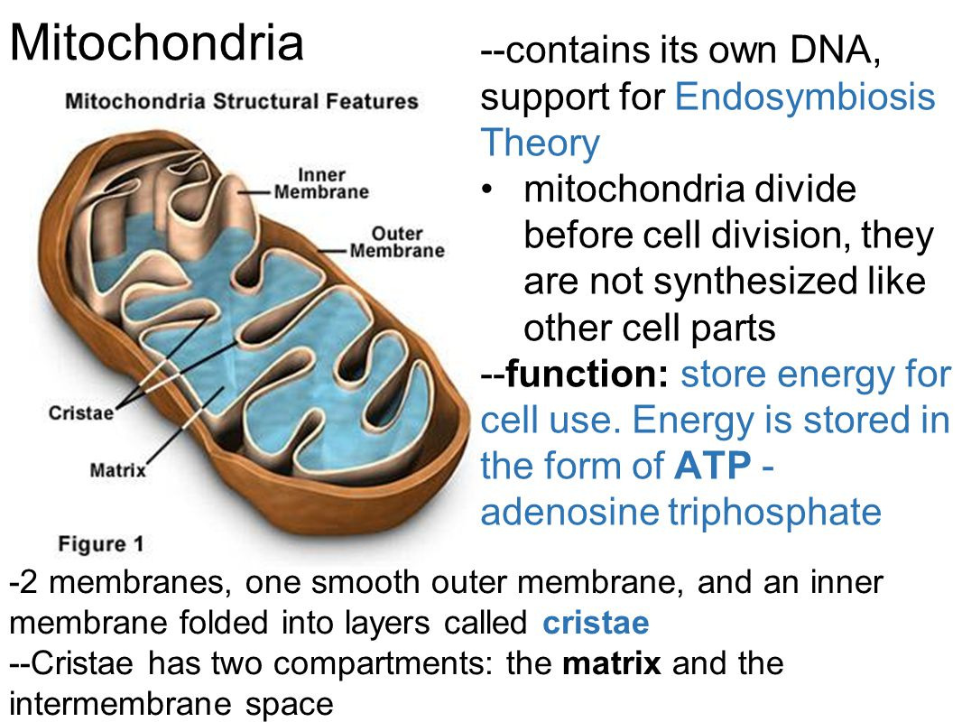 Mitochondria --contains its own DNA, support for Endosymbiosis Theory