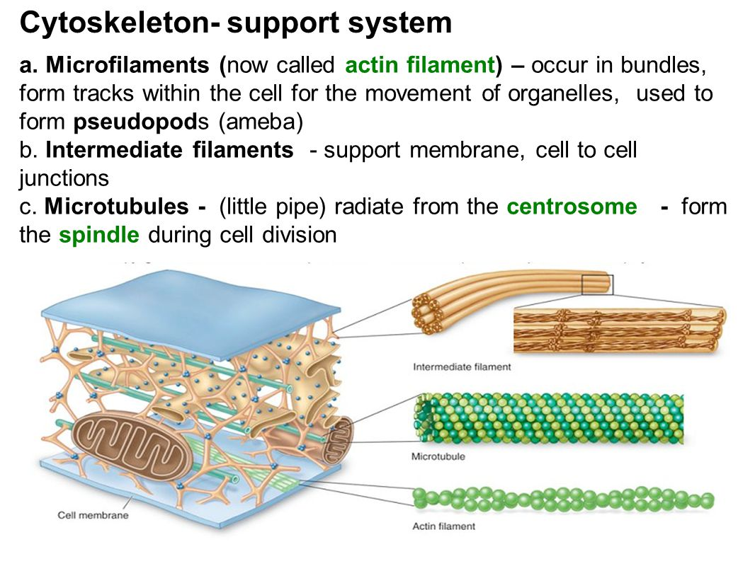 Cytoskeleton- support system