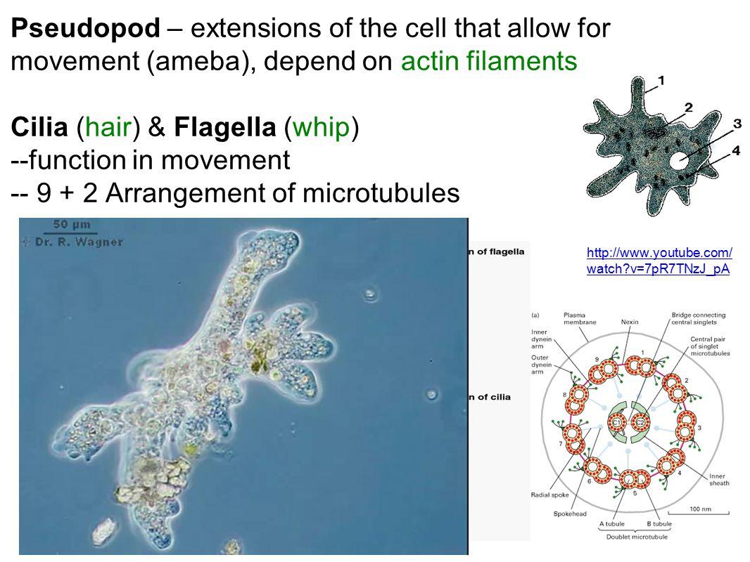 Cilia (hair) & Flagella (whip)