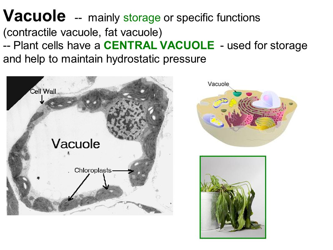 Vacuole -- mainly storage or specific functions (contractile vacuole, fat vacuole) -- Plant cells have a CENTRAL VACUOLE - used for storage and help to maintain hydrostatic pressure