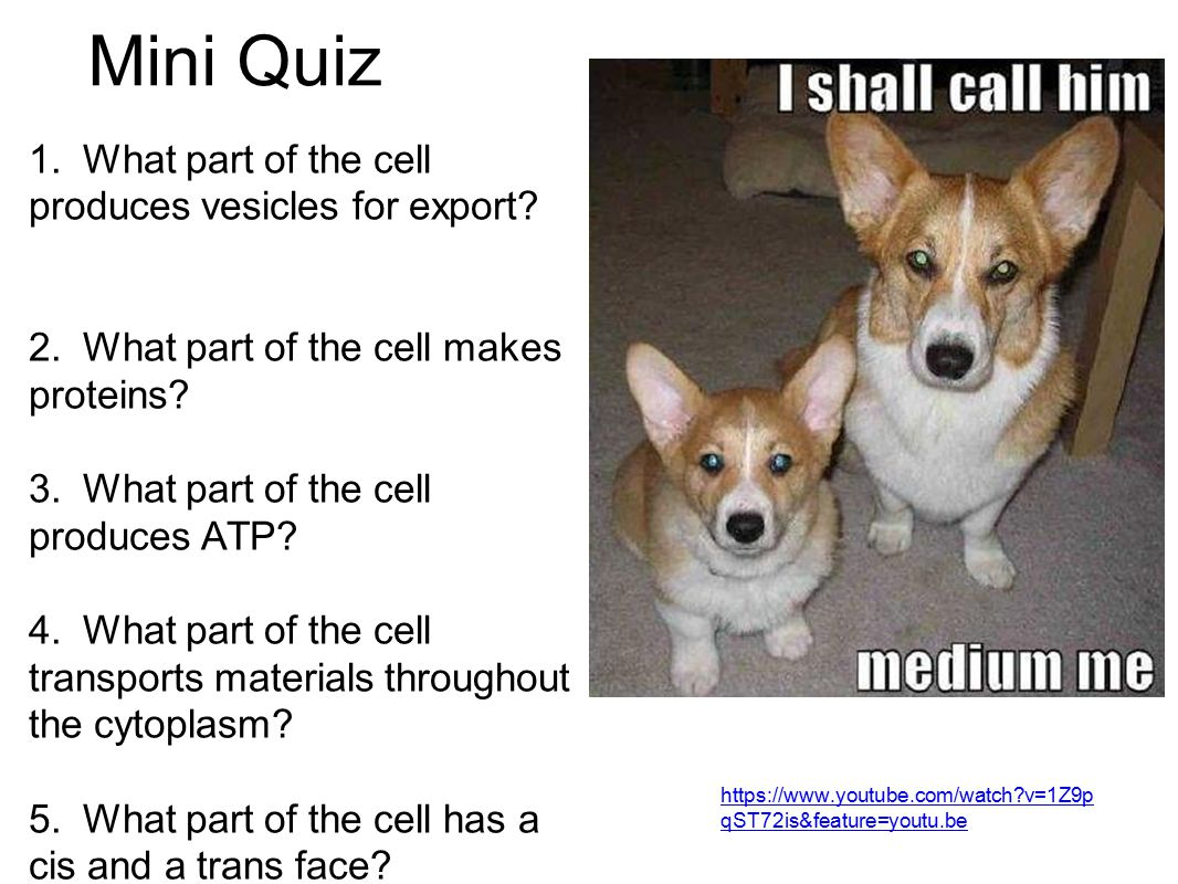 Mini Quiz 1. What part of the cell produces vesicles for export