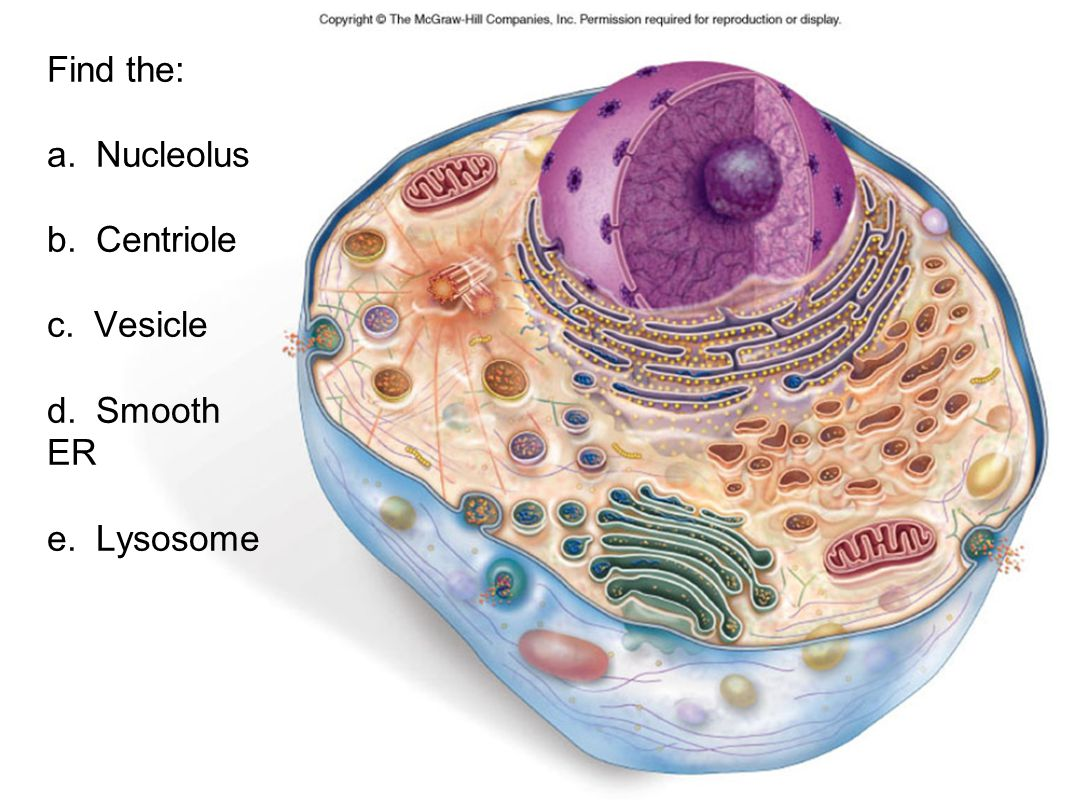 Find the: a. Nucleolus b. Centriole c. Vesicle d. Smooth ER