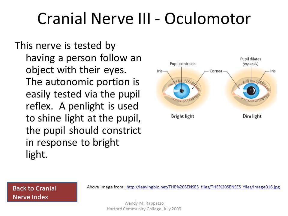 Cranial Nerve III - Oculomotor