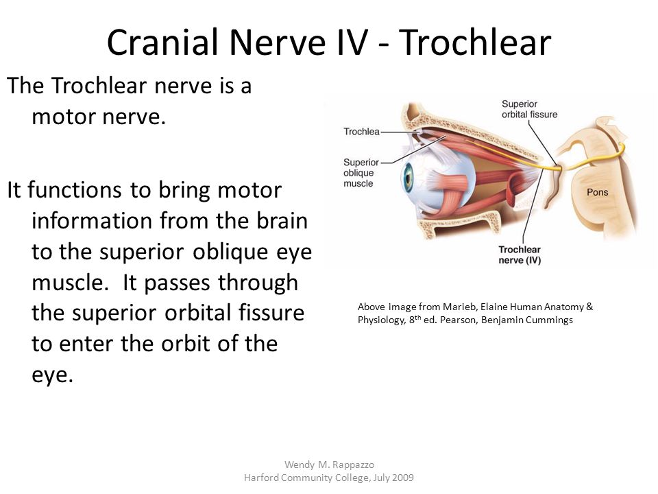 Cranial Nerve IV - Trochlear