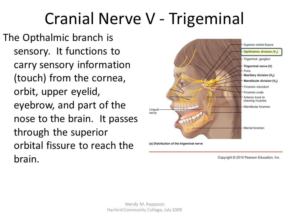 Cranial Nerve V - Trigeminal