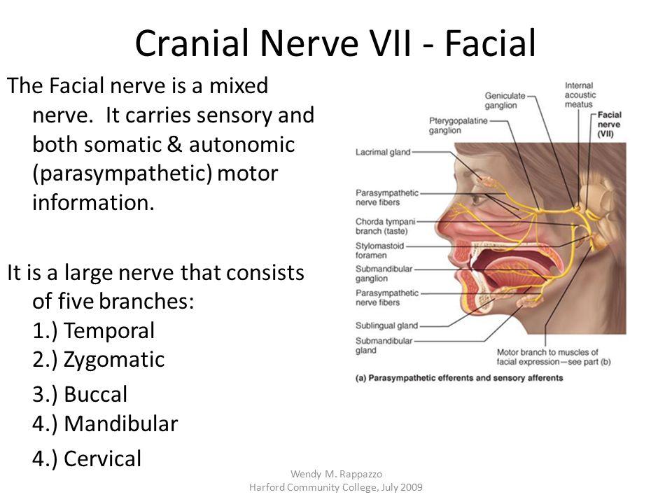 Cranial Nerve VII - Facial