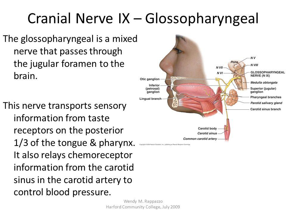 Cranial Nerve IX – Glossopharyngeal