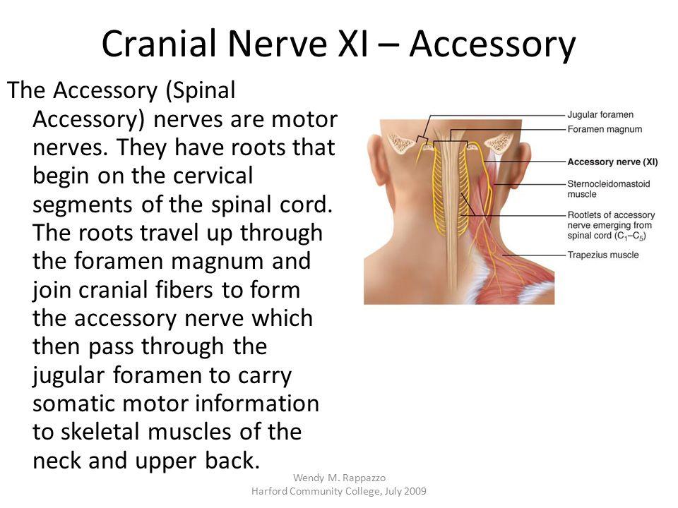 Cranial Nerve XI – Accessory