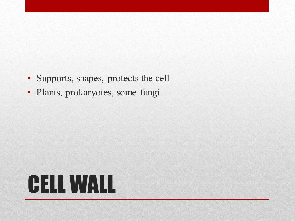 CELL WALL Supports, shapes, protects the cell