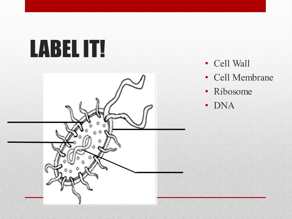 LABEL IT! Cell Wall Cell Membrane Ribosome DNA