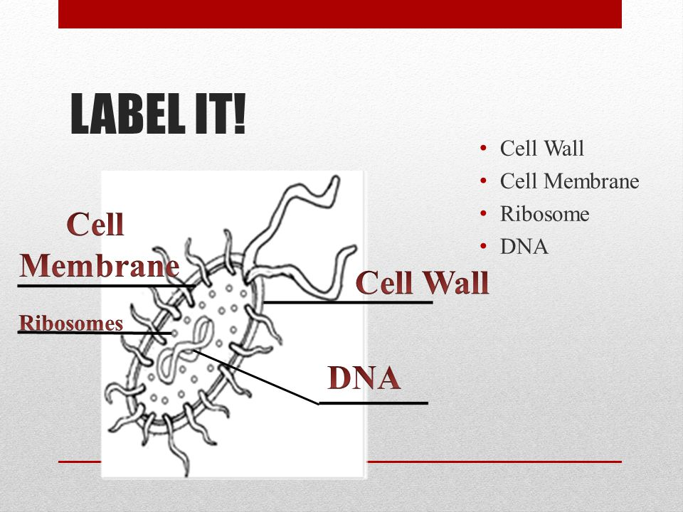 LABEL IT! Cell Membrane Cell Wall DNA Cell Wall Cell Membrane Ribosome