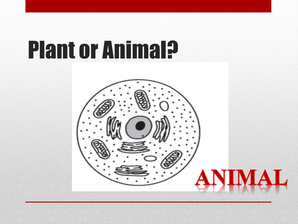 Plant or Animal ANIMAL