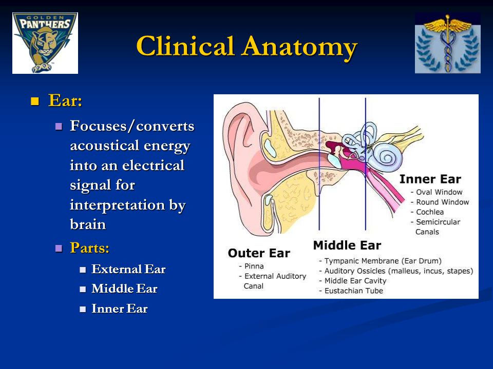 Clinical Anatomy Ear: Focuses/converts acoustical energy into an electrical signal for interpretation by brain.