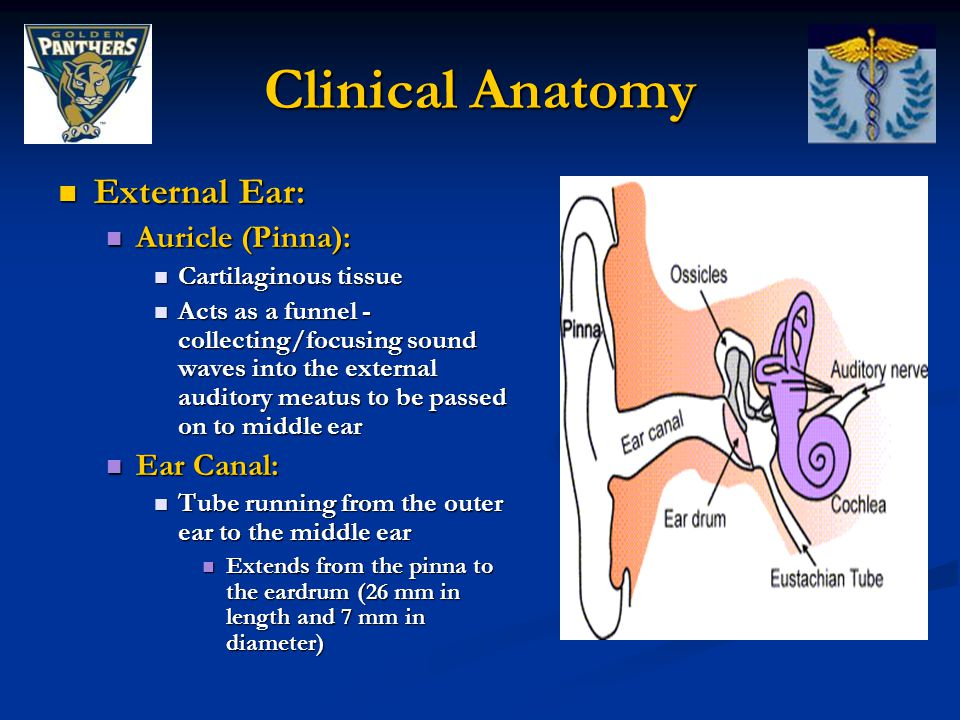 Clinical Anatomy External Ear: Auricle (Pinna): Ear Canal: