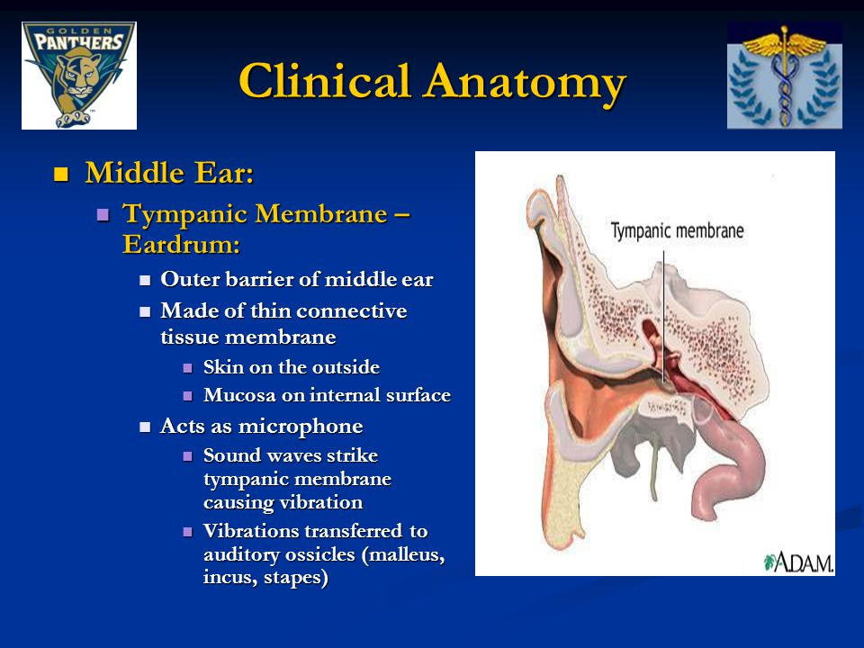 Clinical Anatomy Middle Ear: Tympanic Membrane – Eardrum: