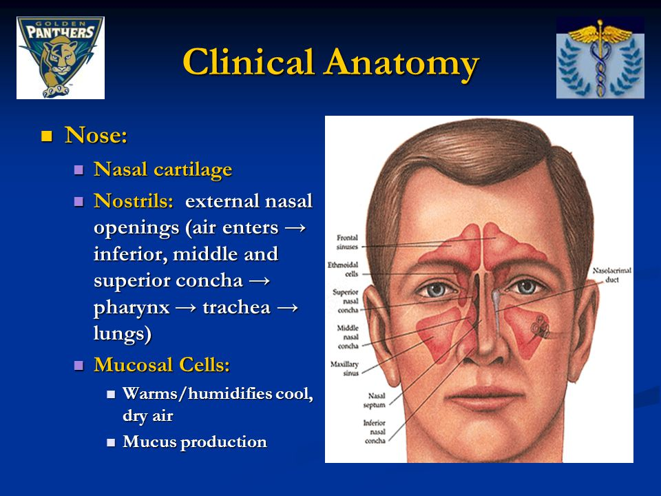 Clinical Anatomy Nose: Nasal cartilage
