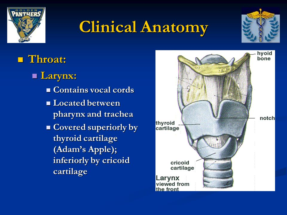 Clinical Anatomy Throat: Larynx: Contains vocal cords