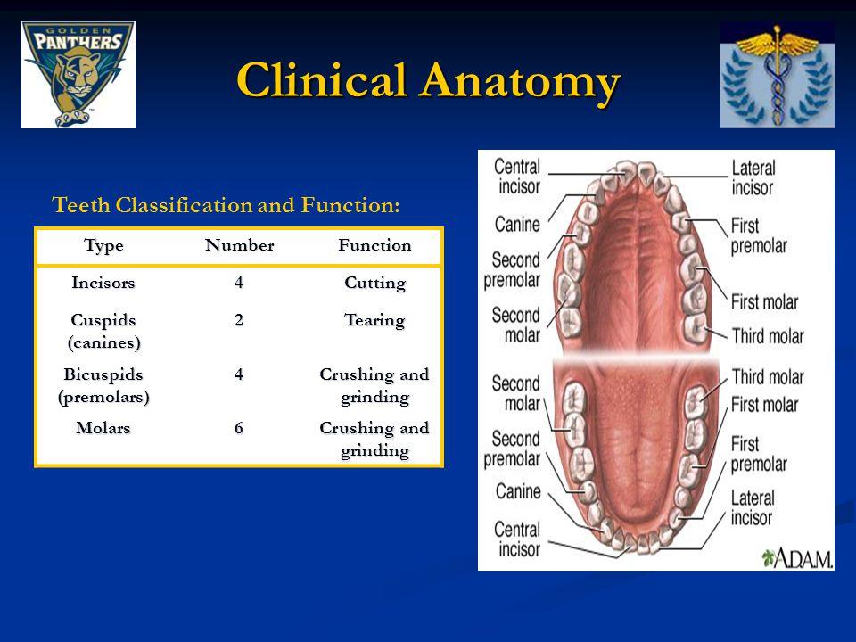 Bicuspids (premolars)