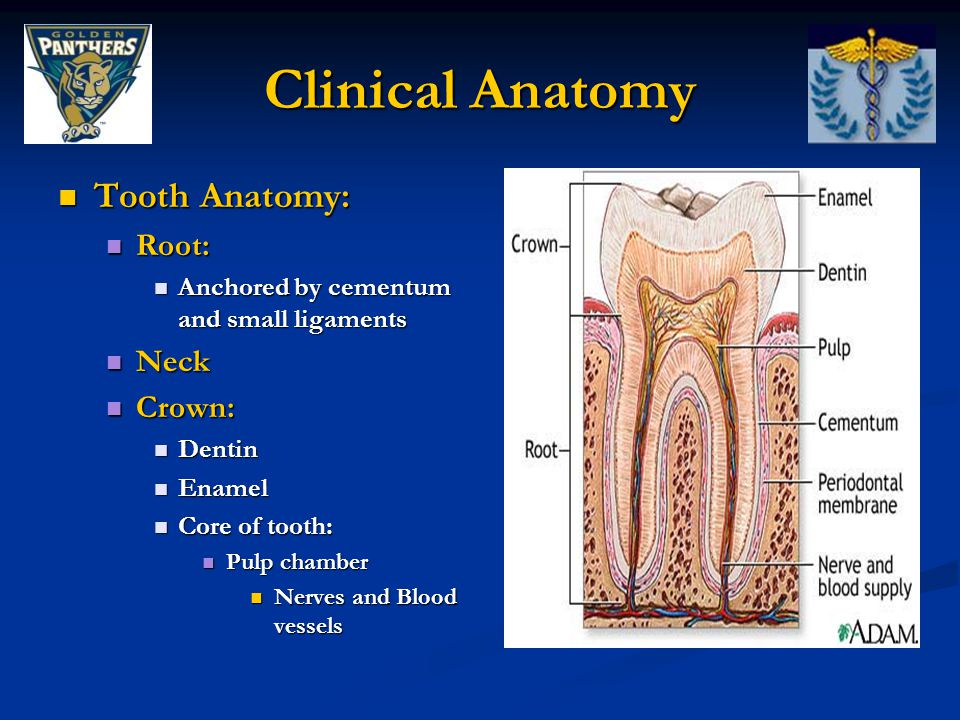 Clinical Anatomy Tooth Anatomy: Root: Neck Crown: