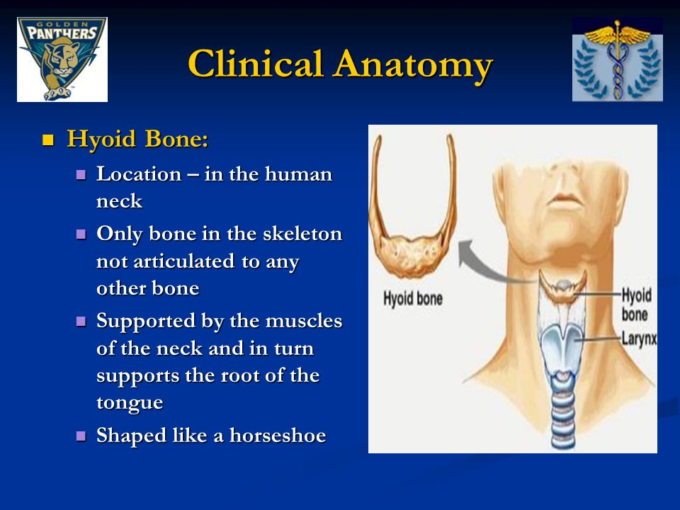 Clinical Anatomy Hyoid Bone: Location – in the human neck