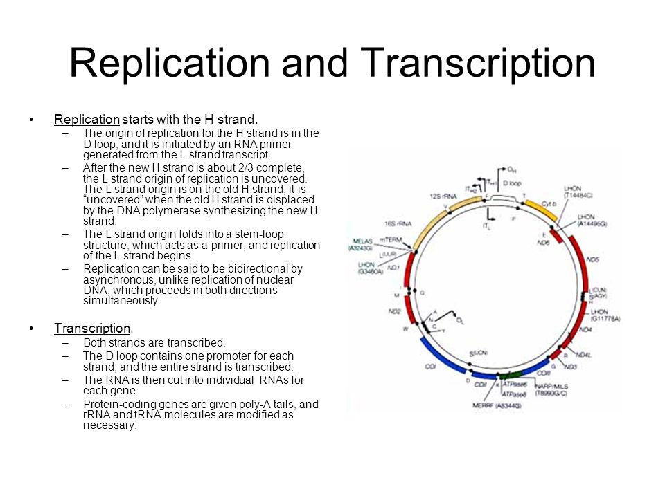 Replication and Transcription