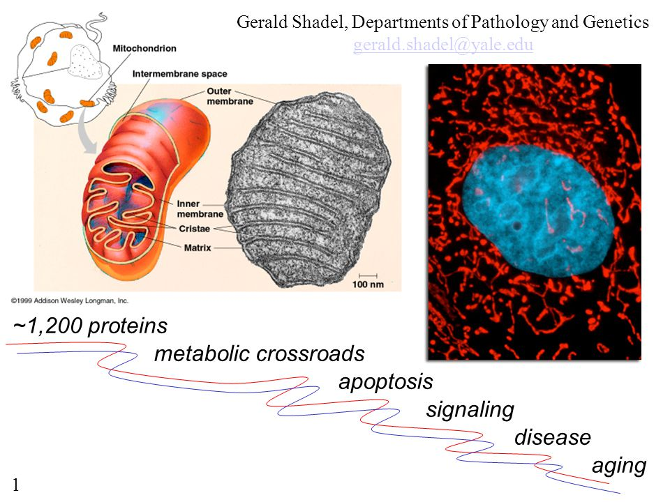 Gerald Shadel, Departments of Pathology and Genetics