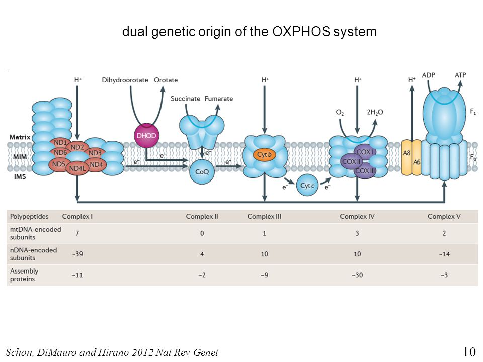 dual genetic origin of the OXPHOS system
