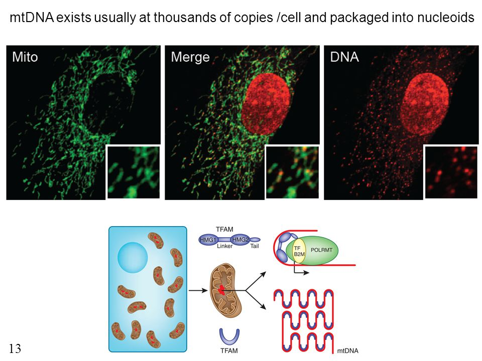 mtDNA exists usually at thousands of copies /cell and packaged into nucleoids