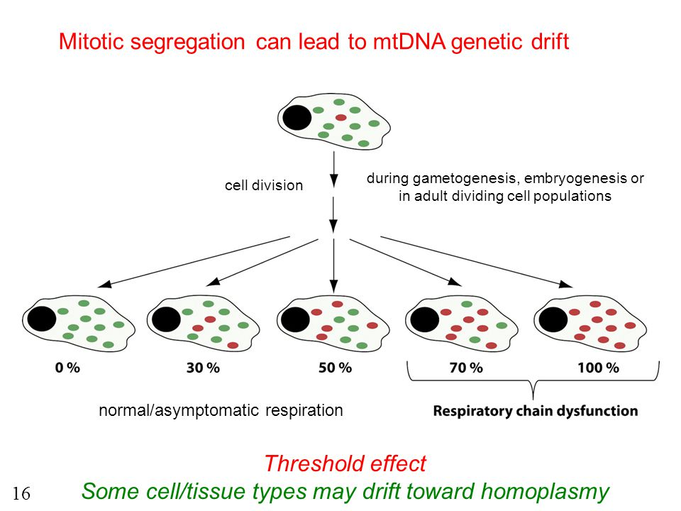 Mitotic segregation can lead to mtDNA genetic drift