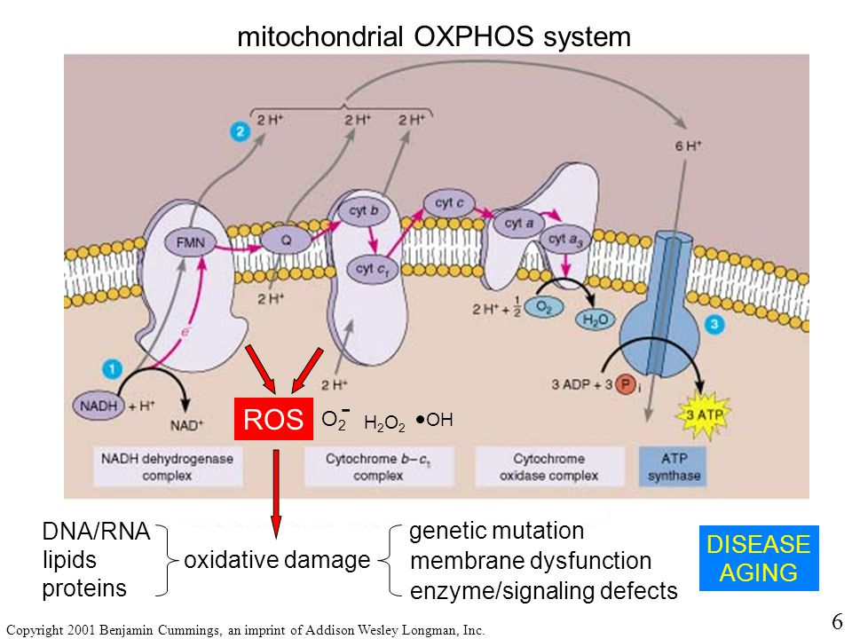 mitochondrial OXPHOS system