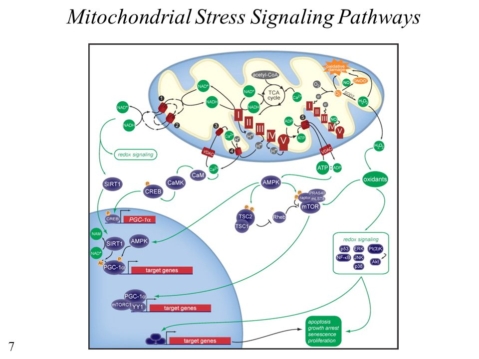 Mitochondrial Stress Signaling Pathways