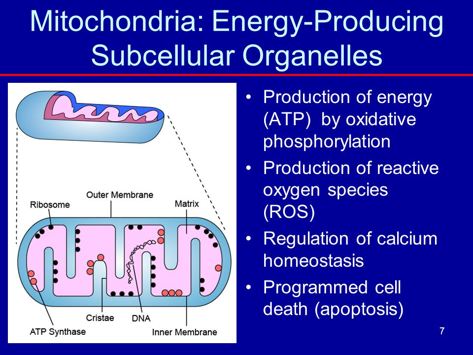 Mitochondria: Energy-Producing Subcellular Organelles