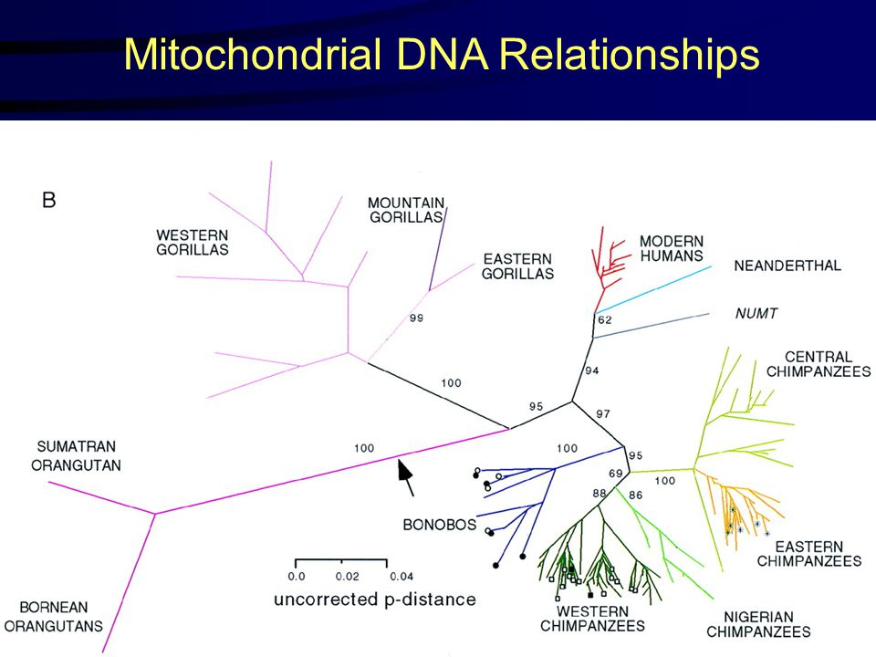 Mitochondrial DNA Relationships