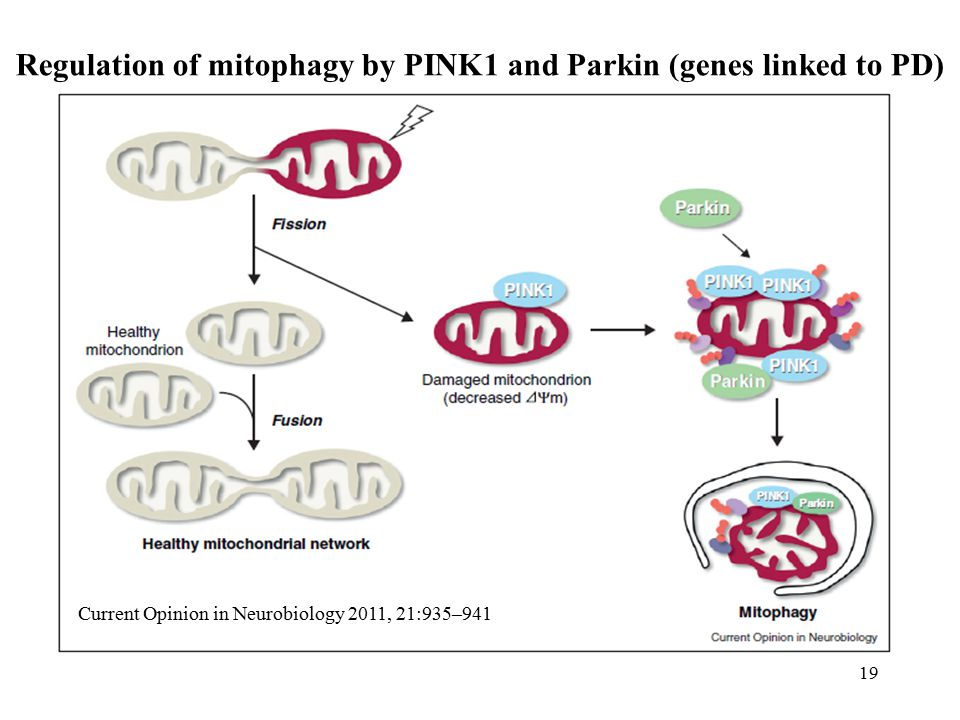 Regulation of mitophagy by PINK1 and Parkin (genes linked to PD)