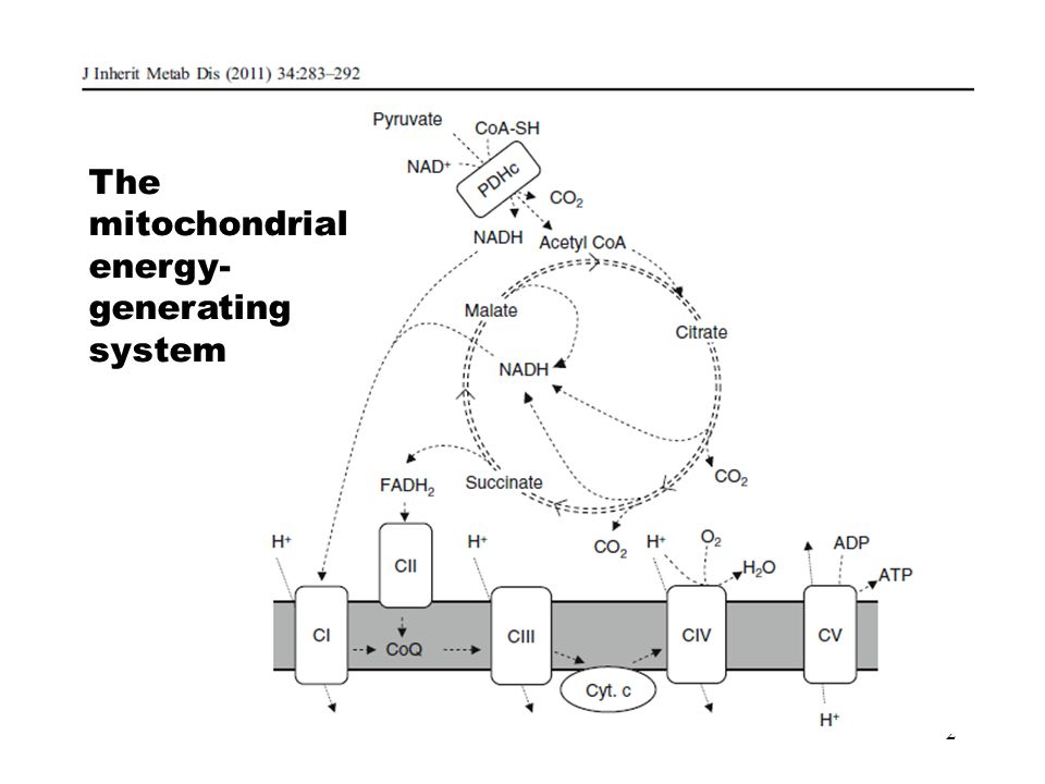 The mitochondrial energy-generating system