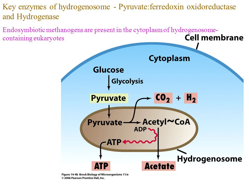 Key enzymes of hydrogenosome - Pyruvate:ferredoxin oxidoreductase and Hydrogenase