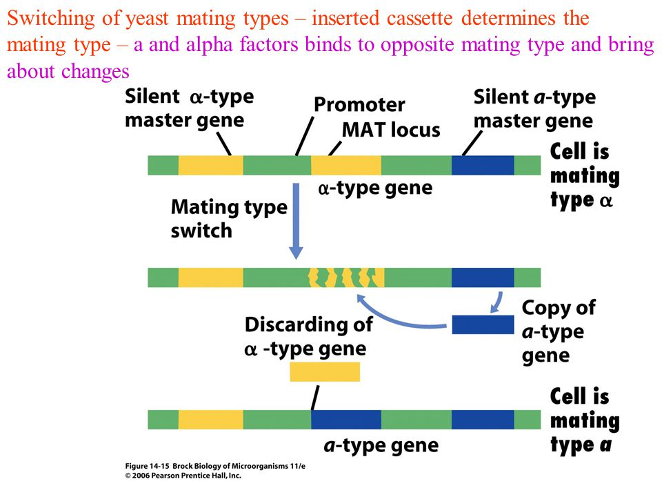 Switching of yeast mating types – inserted cassette determines the mating type – a and alpha factors binds to opposite mating type and bring about changes