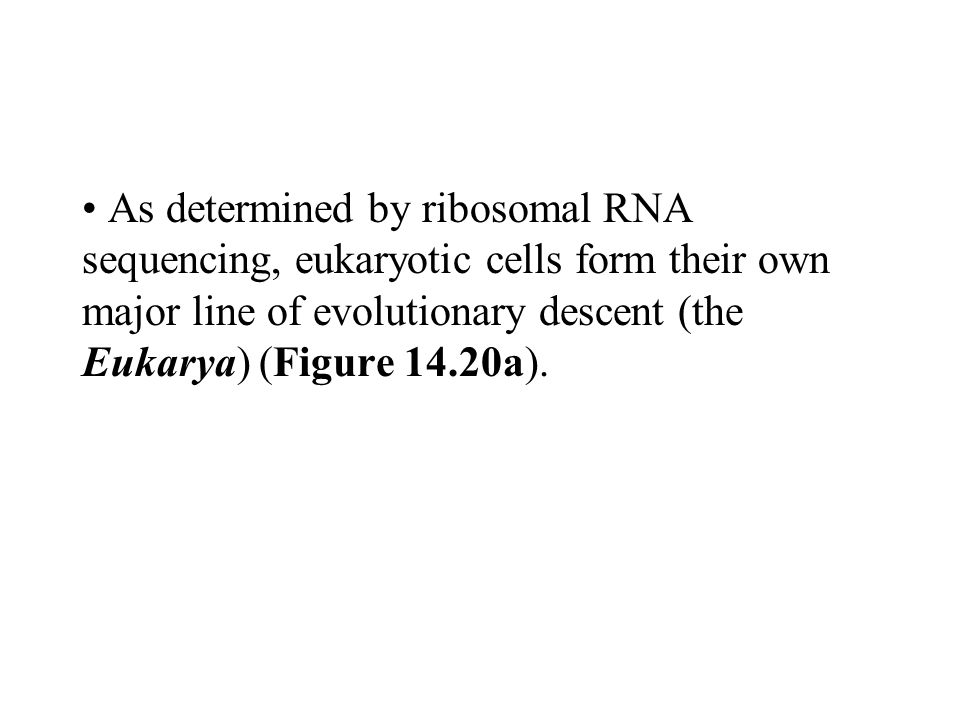 As determined by ribosomal RNA sequencing, eukaryotic cells form their own major line of evolutionary descent (the Eukarya) (Figure 14.20a).