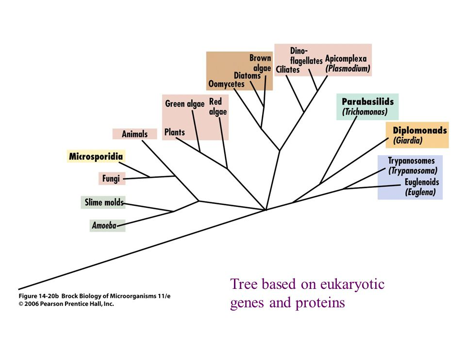Tree based on eukaryotic genes and proteins