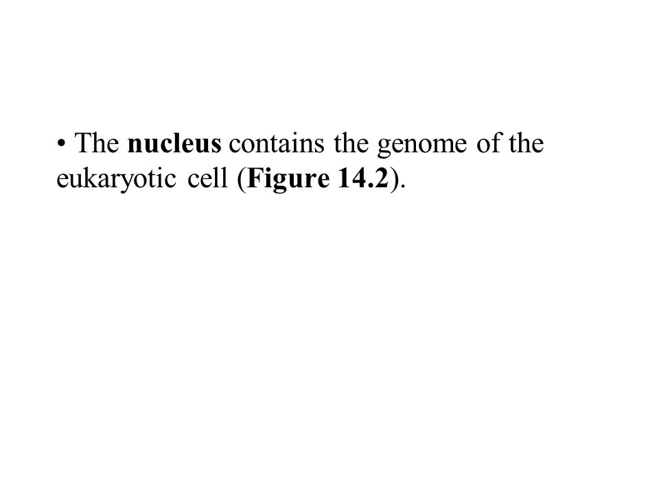 The nucleus contains the genome of the eukaryotic cell (Figure 14.2).