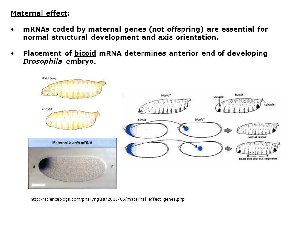 Maternal effect: mRNAs coded by maternal genes (not offspring) are essential for normal structural development and axis orientation.
