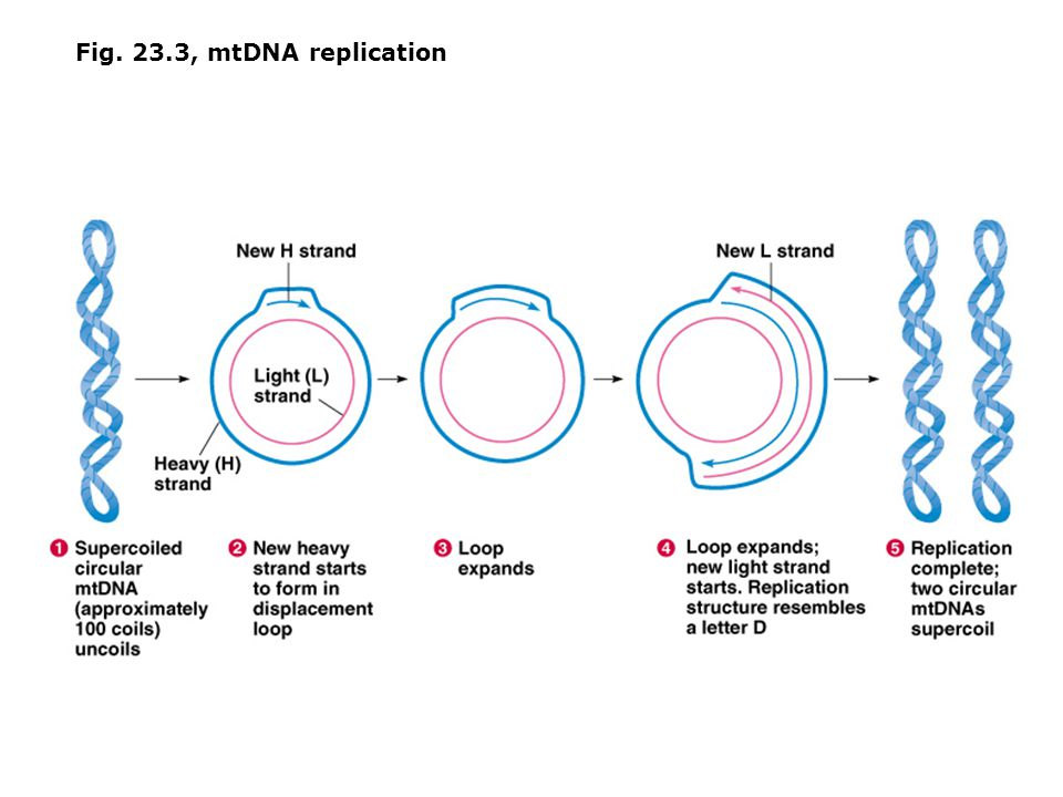 Fig. 23.3, mtDNA replication