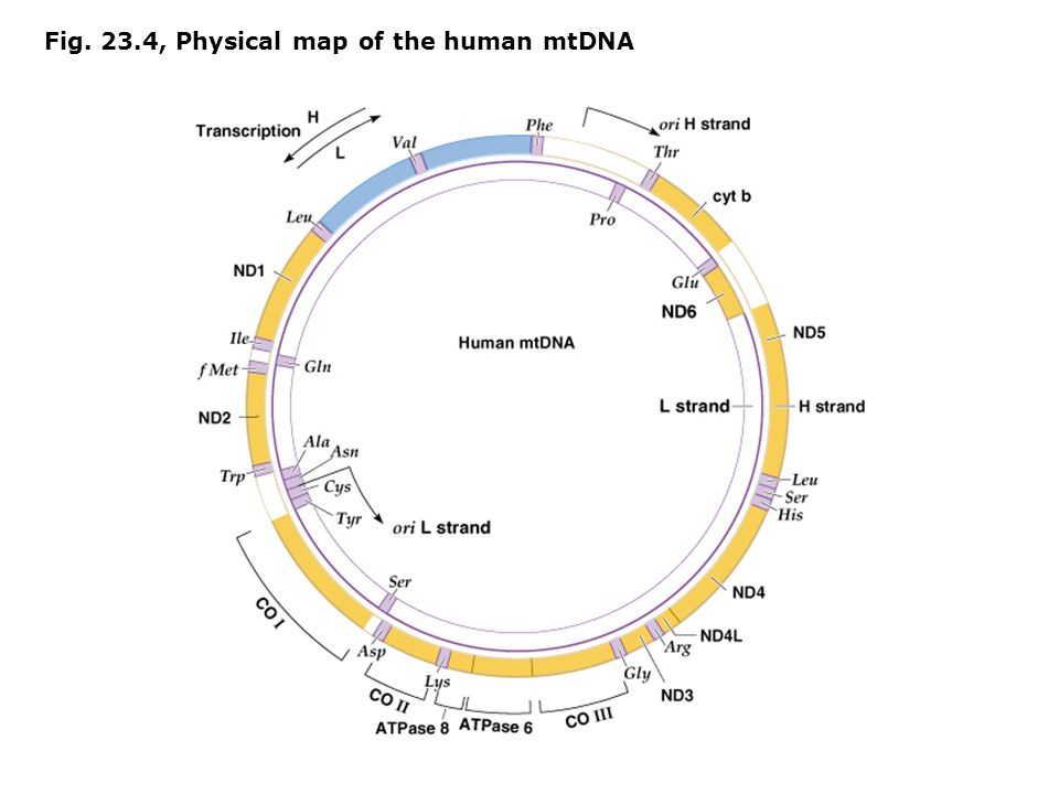 Fig. 23.4, Physical map of the human mtDNA